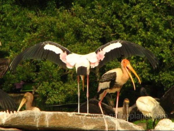 Srirangapatna photos, Ranganathittu Bird Sanctuary - Painted Storks