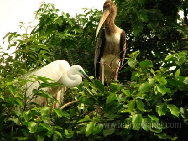 Srirangapatna photos, Ranganathittu Bird Sanctuary - Egret