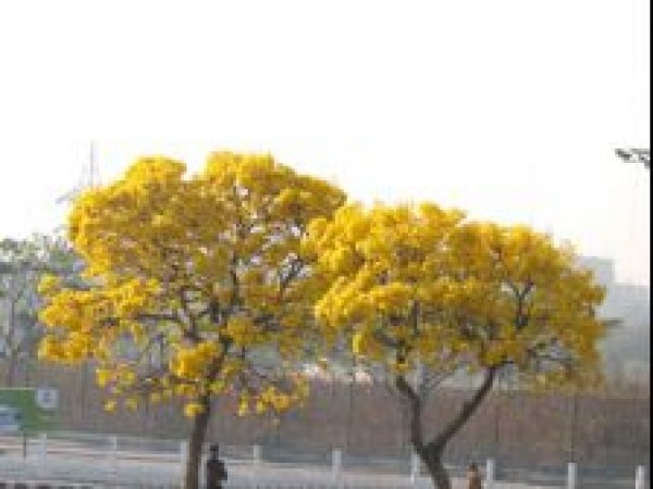 Hyderabad photos, NTR Gardens - Bright Yellow Flowers
