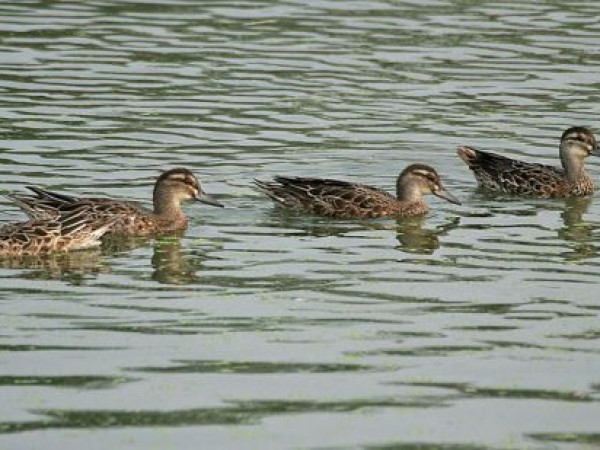 Guntur photos, Uppalapadu Nature Conservation - Row of Garganey