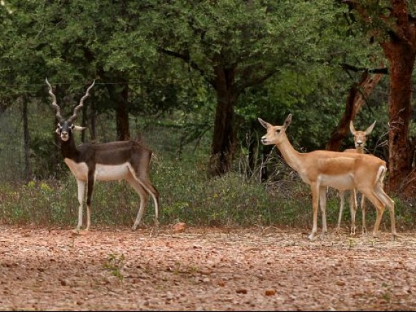 Hyderabad photos, Mahavir Harina Vanasthali National Park - Deer and Blackbuck