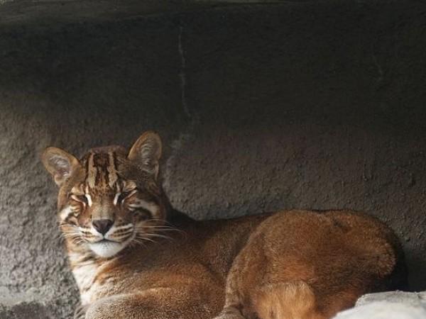 Bishnupur photos, Keibul Lamjao National Park - Asiatic Golden Cat