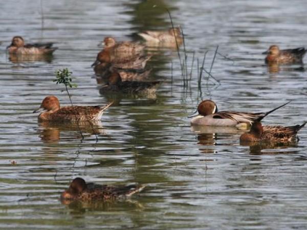 Vedanthangal photos, Vedanthangal Bird sanctuary - Northern Pintail ducks