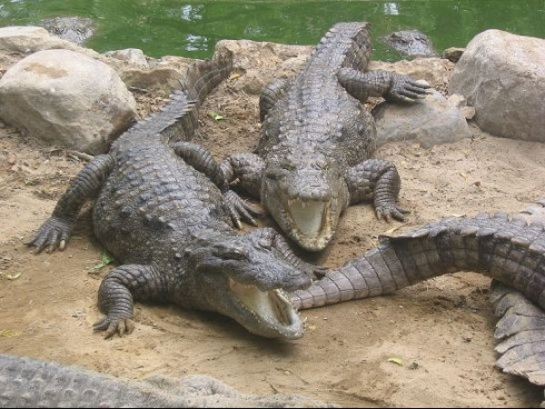 Mahabalipuram photos, Crocodile Bank