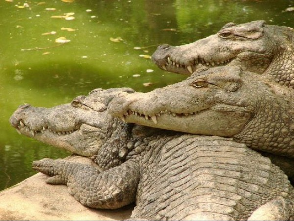Mahabalipuram photos, Crocodile Bank - Crocodiles Basking In The Sun