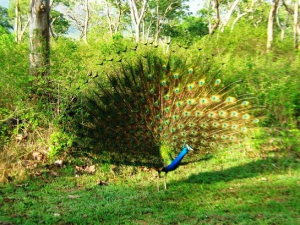 Mudumalai photos, Peacock
