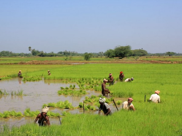 Thanjavur photos, Paddy Fields