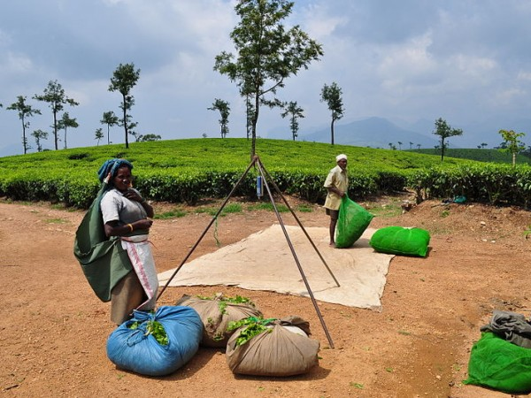 Valparai photos, Tea Picker