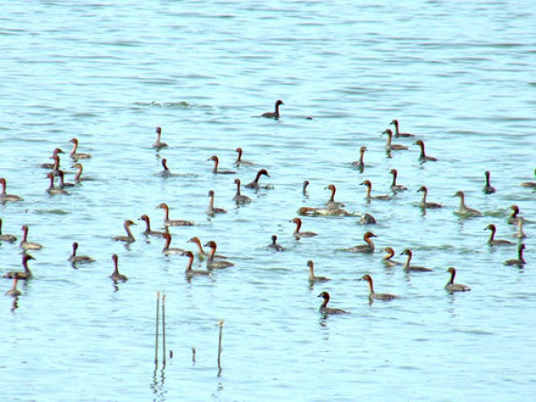 Coimbatore photos, Singanallur Lake - Little Grebes