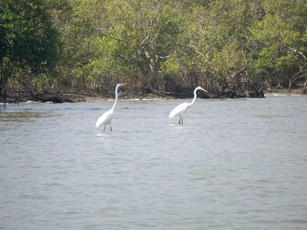 Cuddalore photos, Pichavaram Mangrove Forest - Two egrets