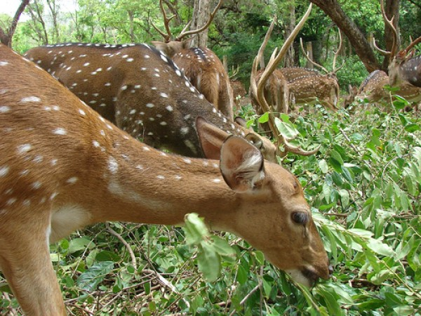 Vellore photos, Amirthi Zoological Park - Grazing Deer