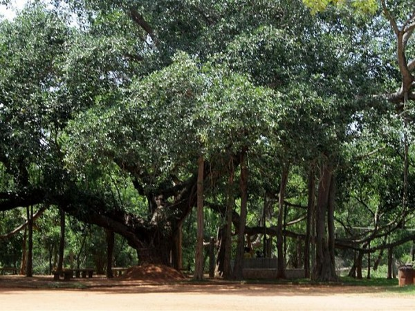 Pondicherry photos, Auroville - Banyan Tree