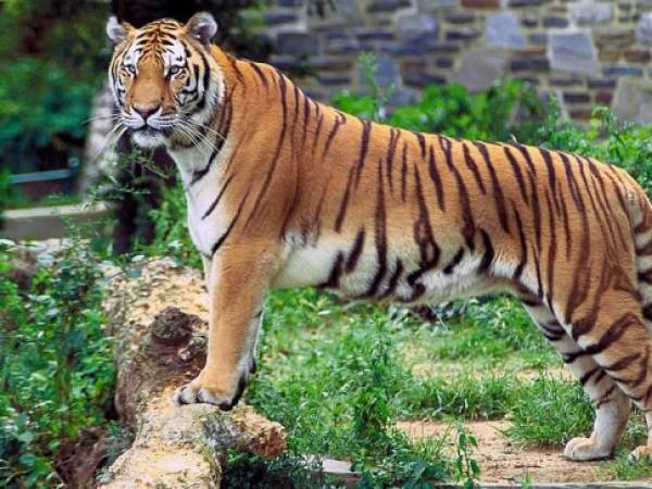 Ambasamudram photos, Mundanthurai Tiger Reserve - Tiger
