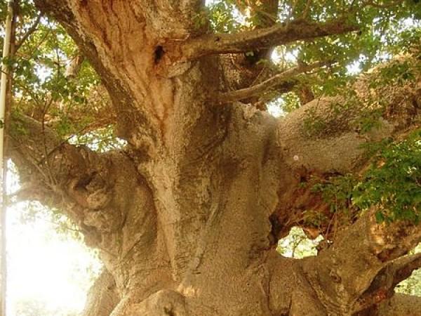 Barabanki photos, Parijat - Parijat Tree