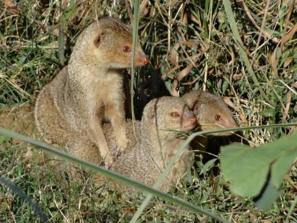 Lucknow photos, Lucknow Zoo -  Mongoose  at the zoo.