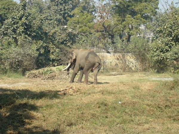 Lucknow photos, Lucknow Zoo - An elephant in the zoo.
