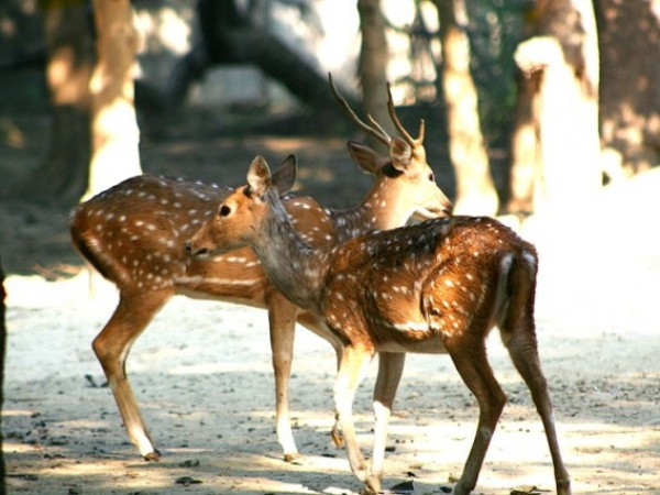 Kanpur photos, Allen Forest Zoo -  A pair of Chital deer.