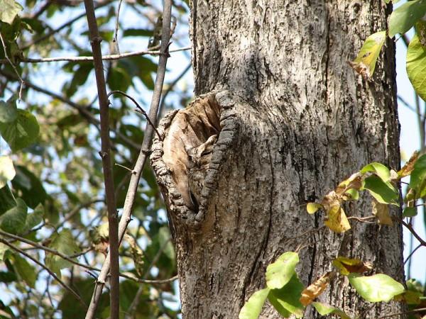 Pench photos, Pench National Park - Sleeping Owl