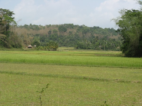Wayanad photos, Kuruva Dweep - Green Paddy