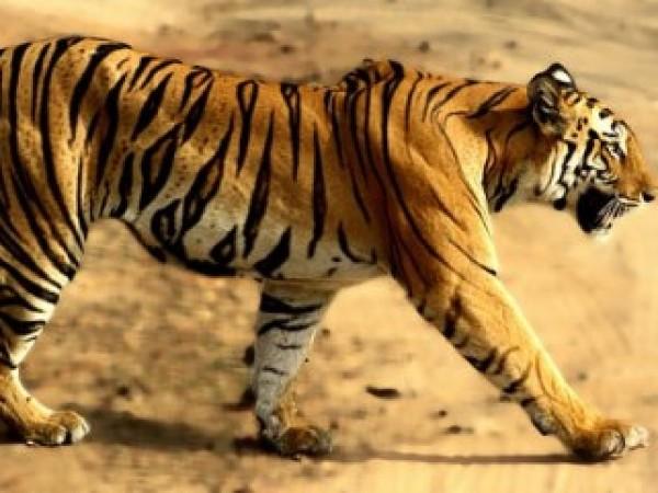 Bandhavgarh photos, Bandhavgarh National Park - The Tigress