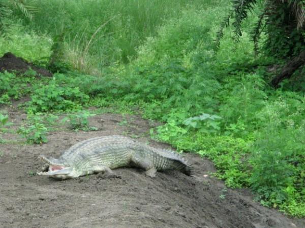 Bhopal photos, Van Vihar - An Alligator