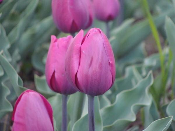 Srinagar photos, Indira Gandhi Tulip Garden - Cultivated Tulips