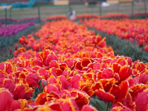 Srinagar photos, Indira Gandhi Tulip Garden - Vibrant Orange