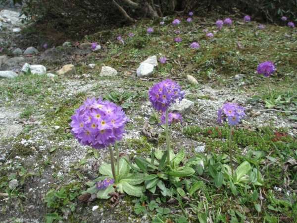 Gangtok photos, A Violet Flower