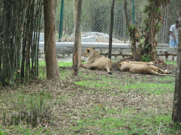 Bannerghatta photos, Lions at the Zoo