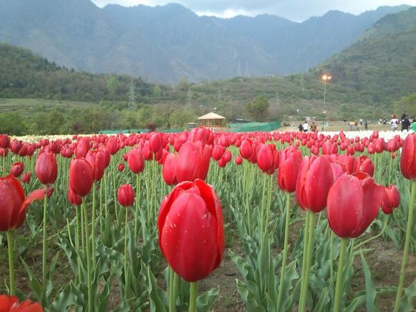 Srinagar photos, Indira Gandhi Tulip Garden - Tulip Garden