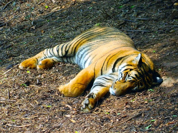 Guwahati photos, Zoological Gardens - An interesting glimpse of the tiger