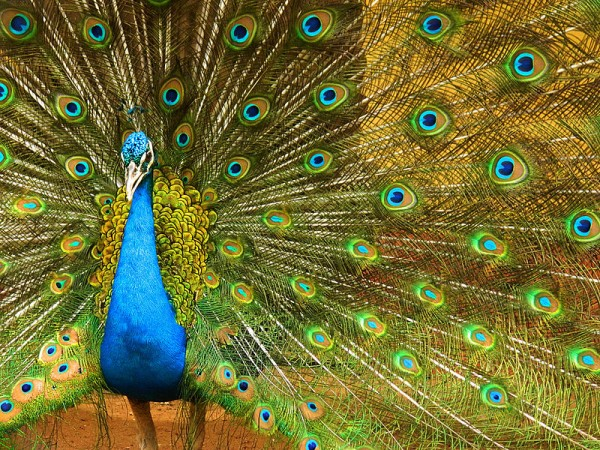 Guwahati photos, Zoological Gardens - An image of a peacock