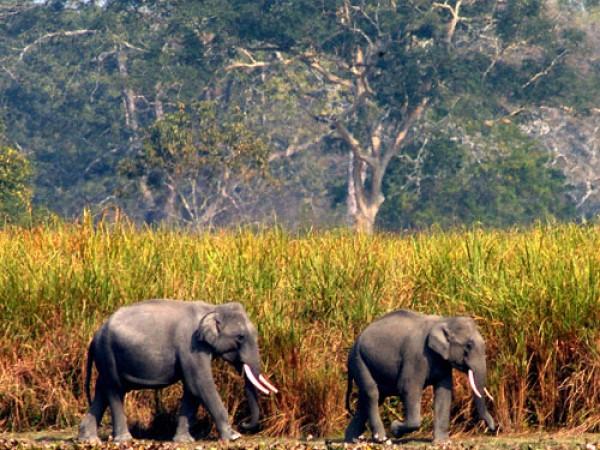 Kaziranga photos, Kaziranga National Park - Elephants at the Park