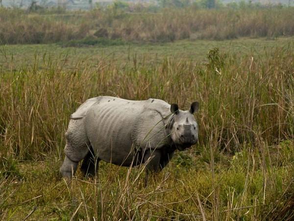 Kaziranga photos, Kaziranga National Park - Rhino