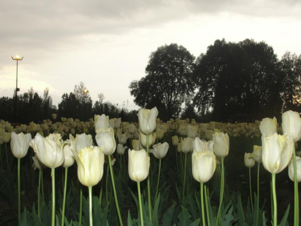 Srinagar photos, White tulips