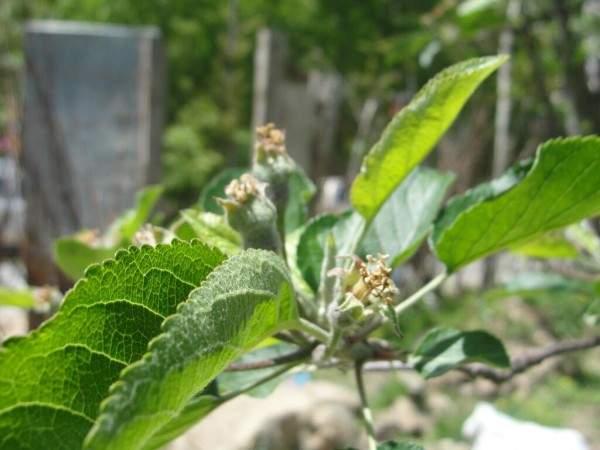 Srinagar photos, Apple buds