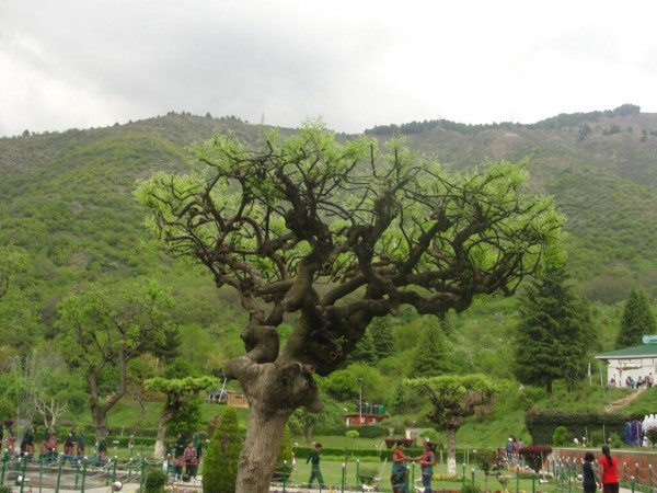 Srinagar photos,Chashm-e-Shahi Gardens - Beautiful Greens