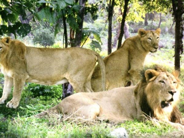Silvassa photos, Vasona Lion Safari - picture10