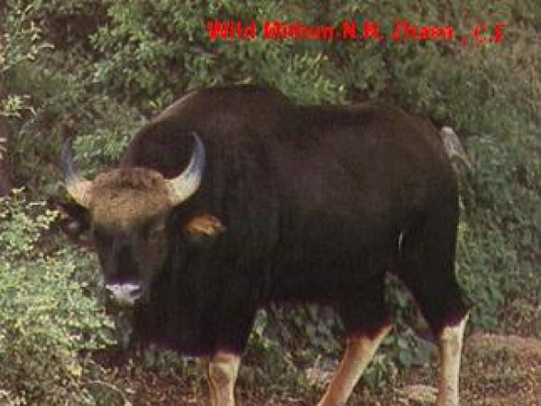 Itanagar photos, Itanagar Wildlife Sanctuary - Bison