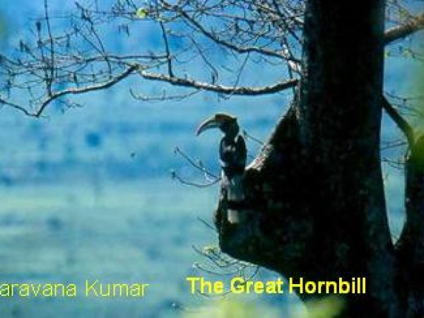 Itanagar photos, Itanagar Wildlife Sanctuary - The Great Hornbill