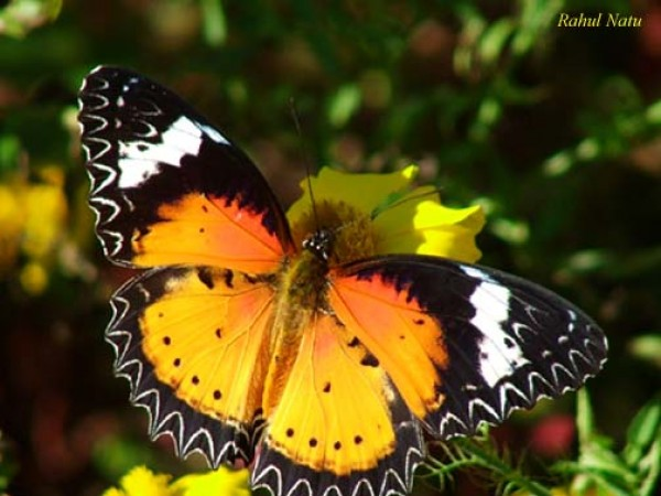 Namdapha National Park photos, Leopard Lacewing