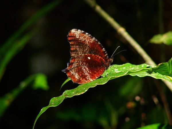 Namdapha National Park photos, A close view of Peal's Palmfly