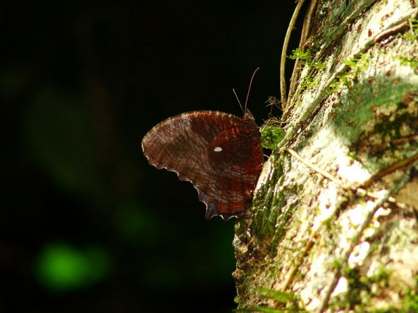 Namdapha National Park photos, A narrow capture of Peal's Palmfly