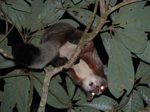 Namdapha National Park photos, Flying Squirrel