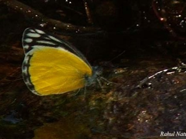Namdapha National Park photos, Yellow Jezebel
