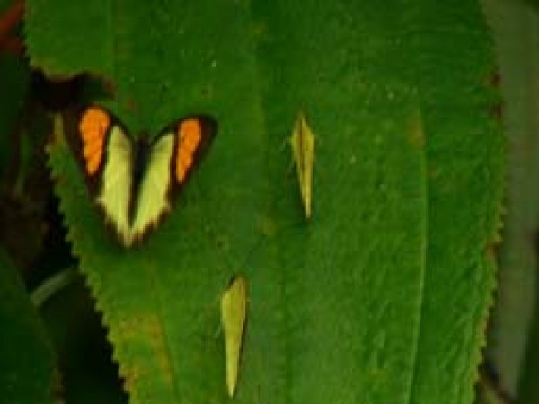 Namdapha National Park photos, Yellow Orange Tip