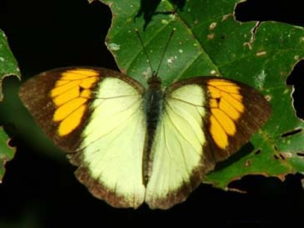 Namdapha National Park photos, Yellow OrangeTip Butterfly