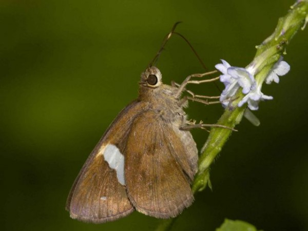 Namdapha National Park photos, Common Banded Butterfly