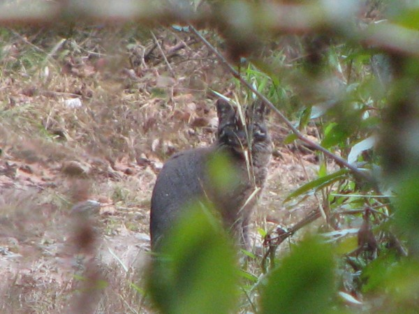 Bomdila photos, Eaglenest Wildlife sanctuary - Asaian Golden Cat