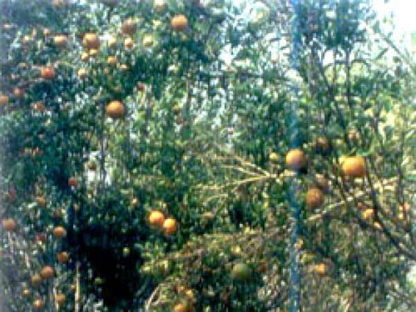 Agartala photos, Jampui Hill - Workers collecting ripe oranges